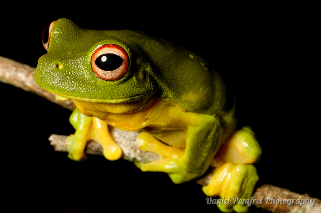 Australian red eyed tree frog (Litoria chloris) AUS284764